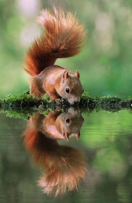 squirrel water drink green grass
