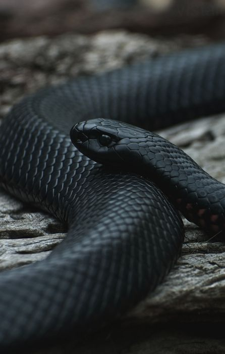 snake black macro retina wallpaper
