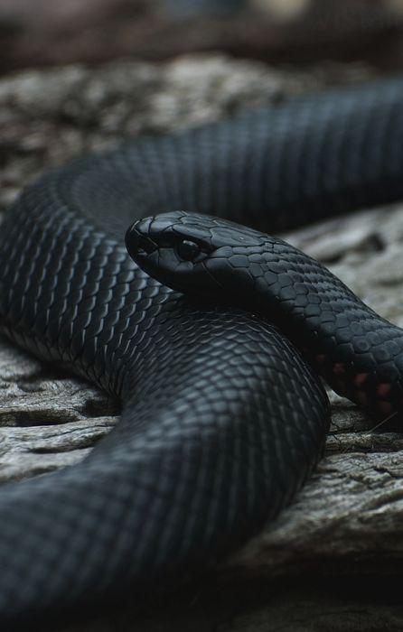 snake black macro retina wallpaper