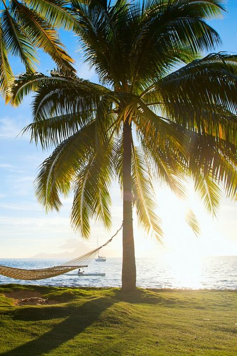 palm tree with hammock