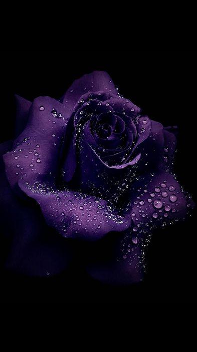 violet rose macro drops 1080x1920