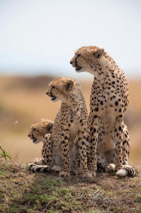 three cheetah africa predator