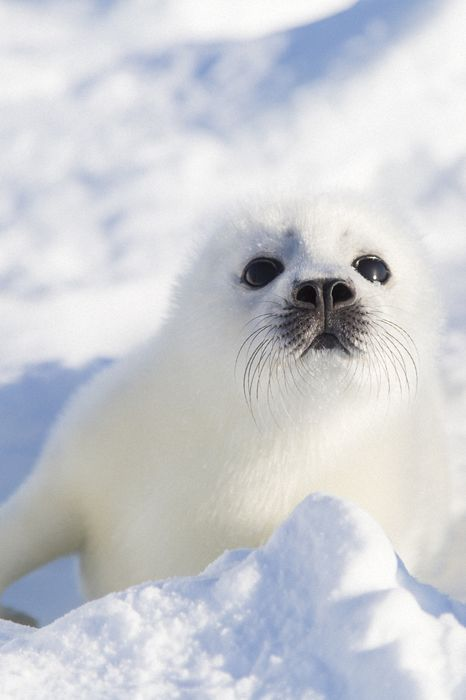 white seal baby adorable animal