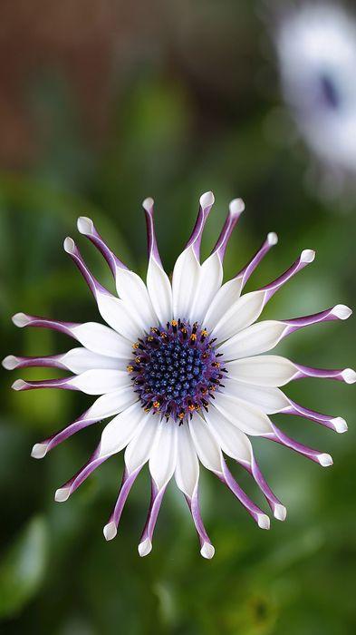 white violet flower amazing 1080x1920