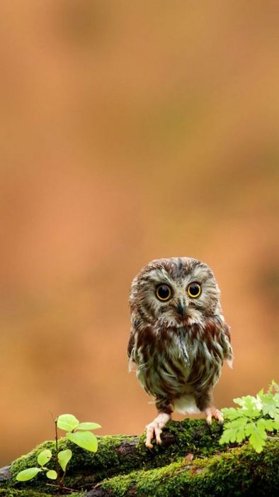 little owl tree