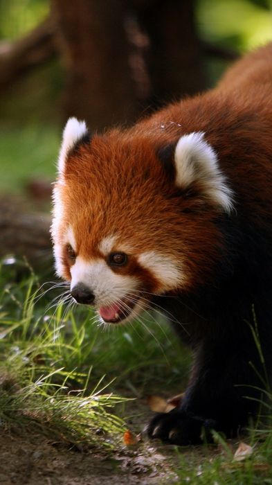 red panda firefox forest animal cute