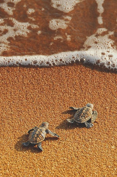 sea turtles sand