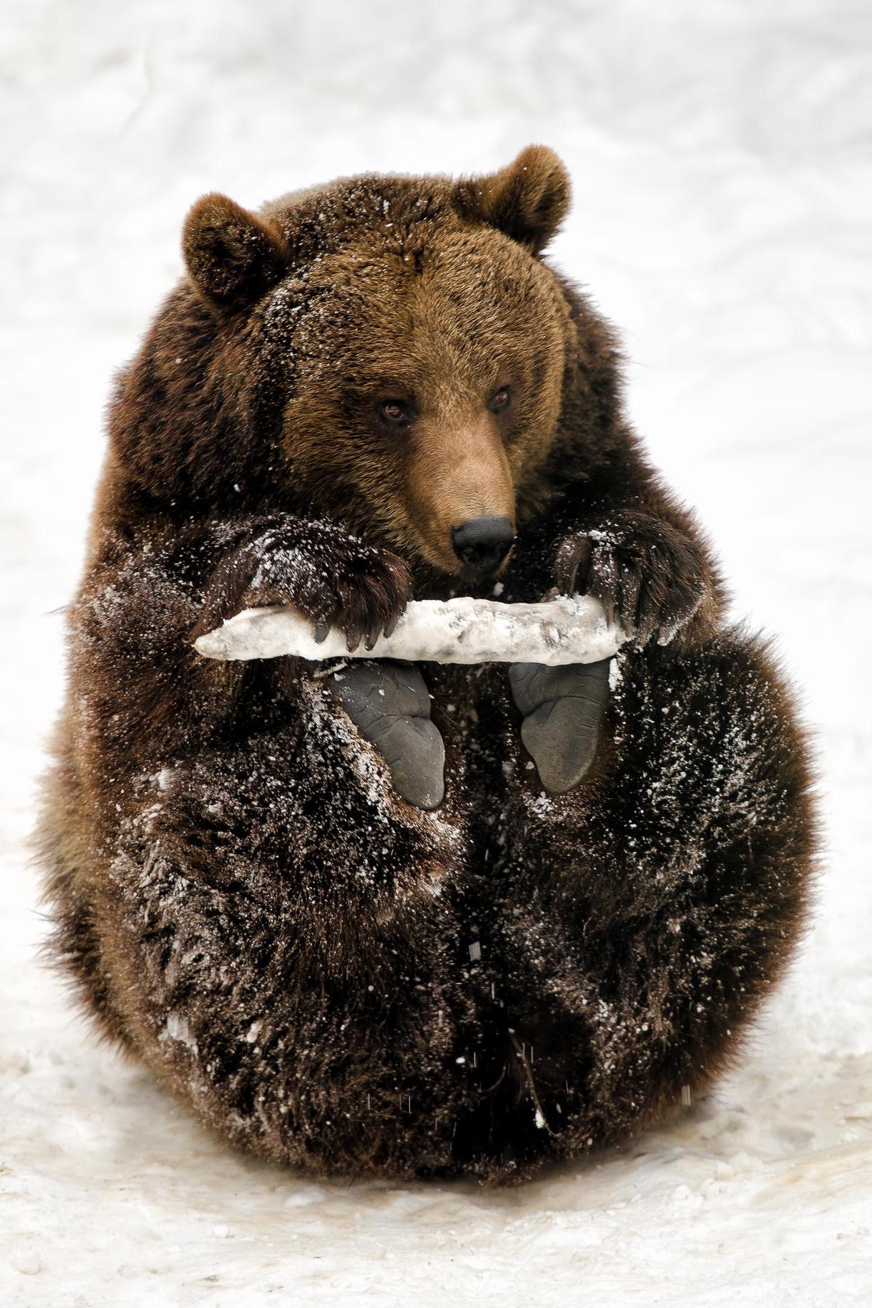 bear playing snow