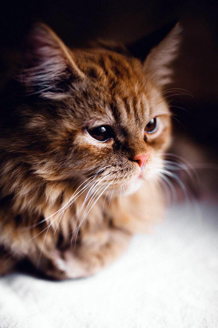 cat red adorable animal