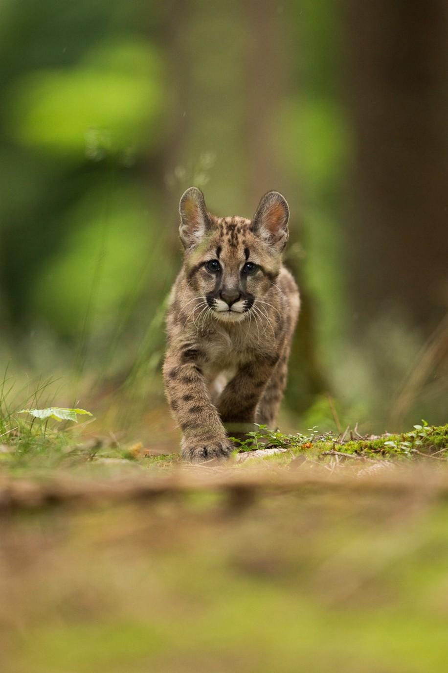 forest wild cat animal