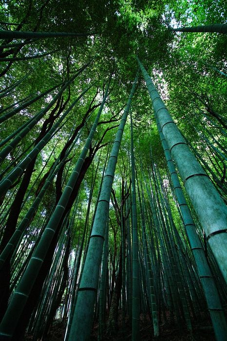 forest freen bamboo wallpaper