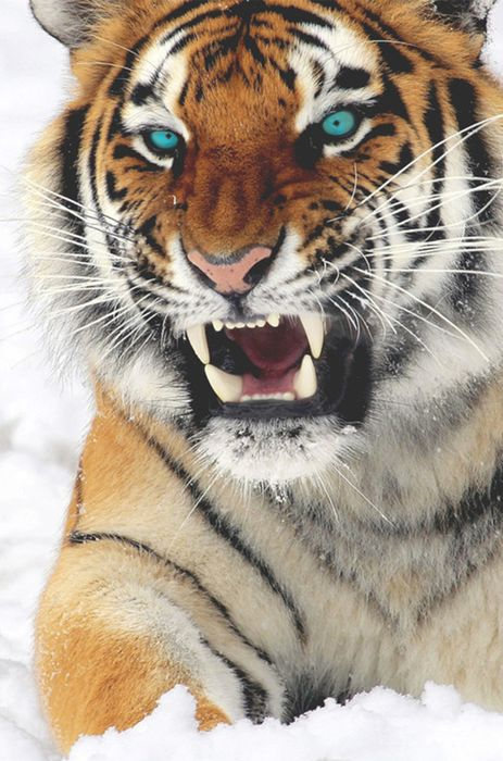 snow cat feline tiger animal domestic big mammal fur