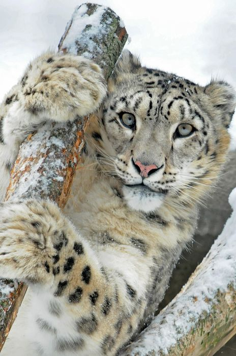 snow leopard fur big cat snow feline animal skin predator wild