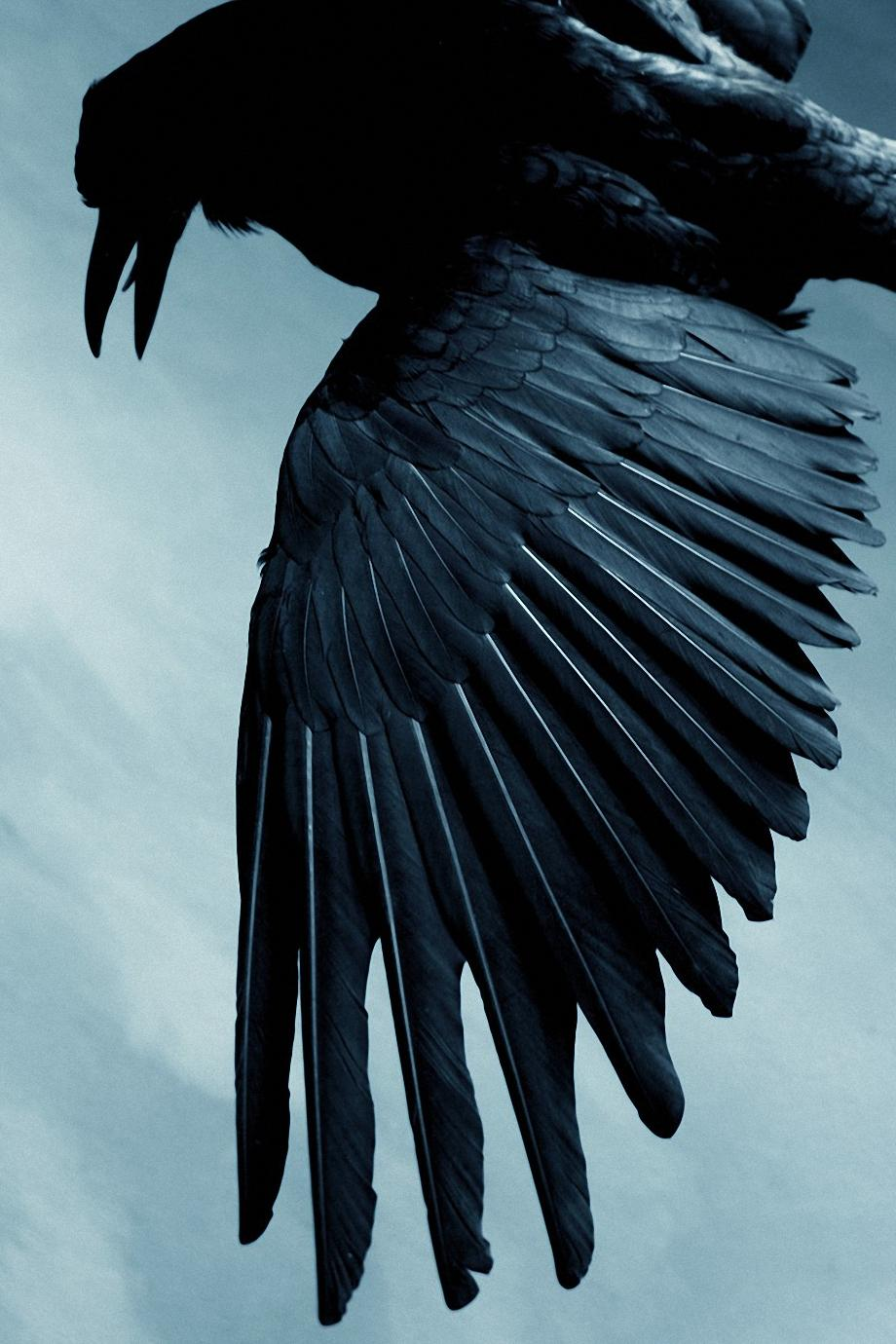 black raven bird wallpaper