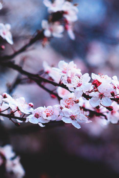 flowers pink tree bokeh 1280x1920