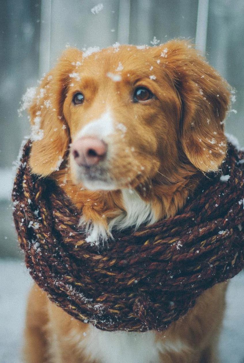 dog scarf winter snowfall hunting setter cute animal