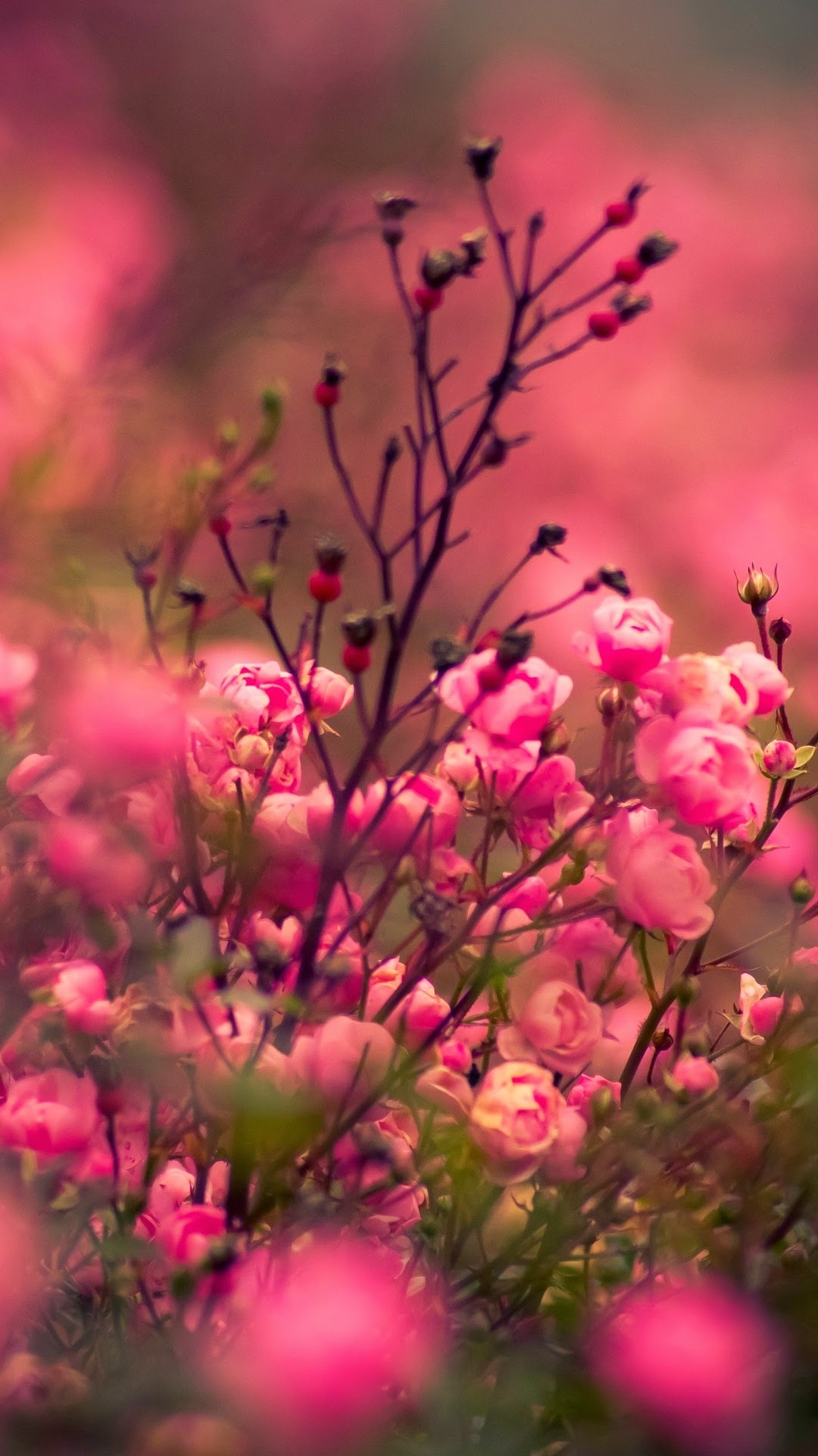 roses flowers grass android wallpaper