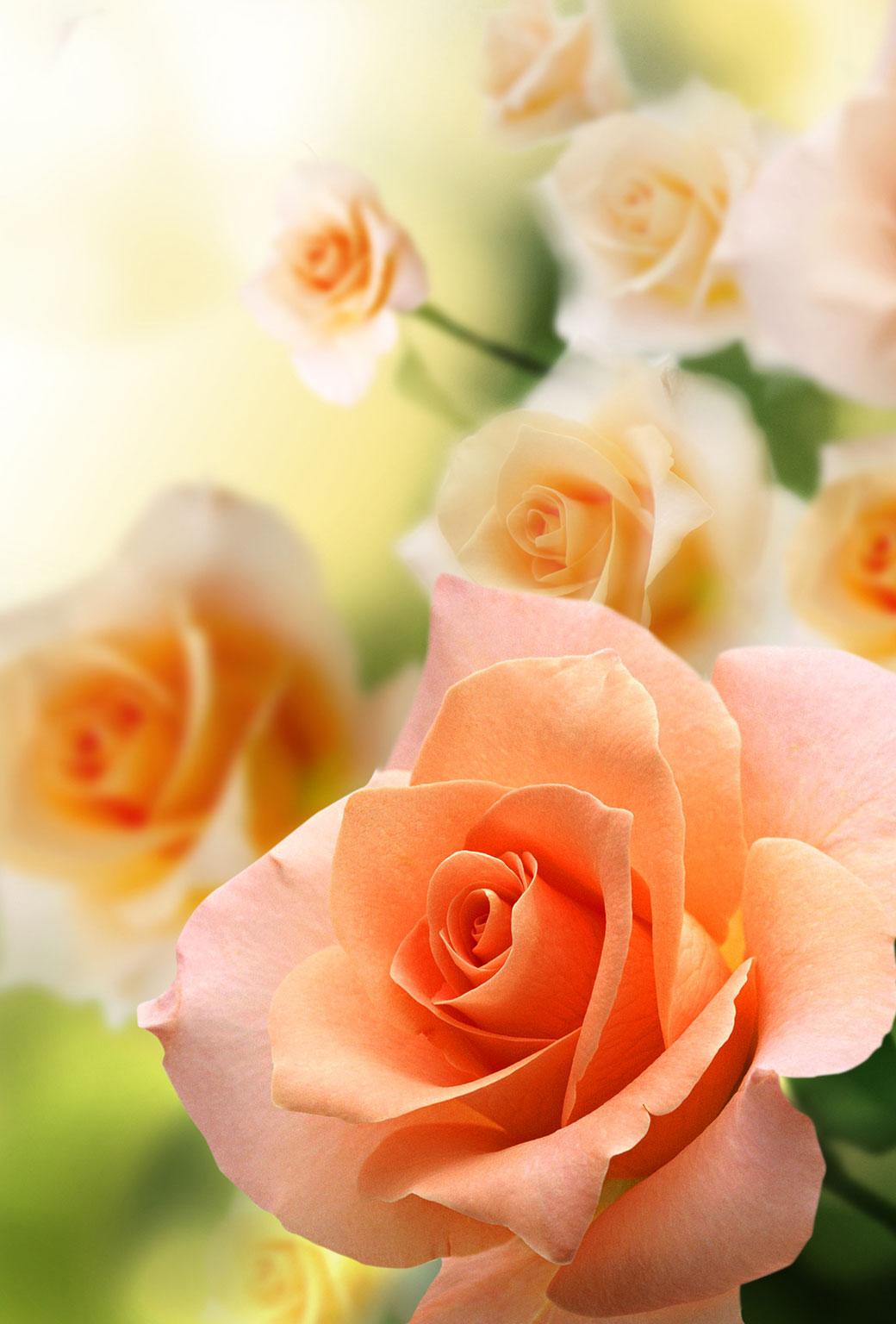 roses pink orange macro photo
