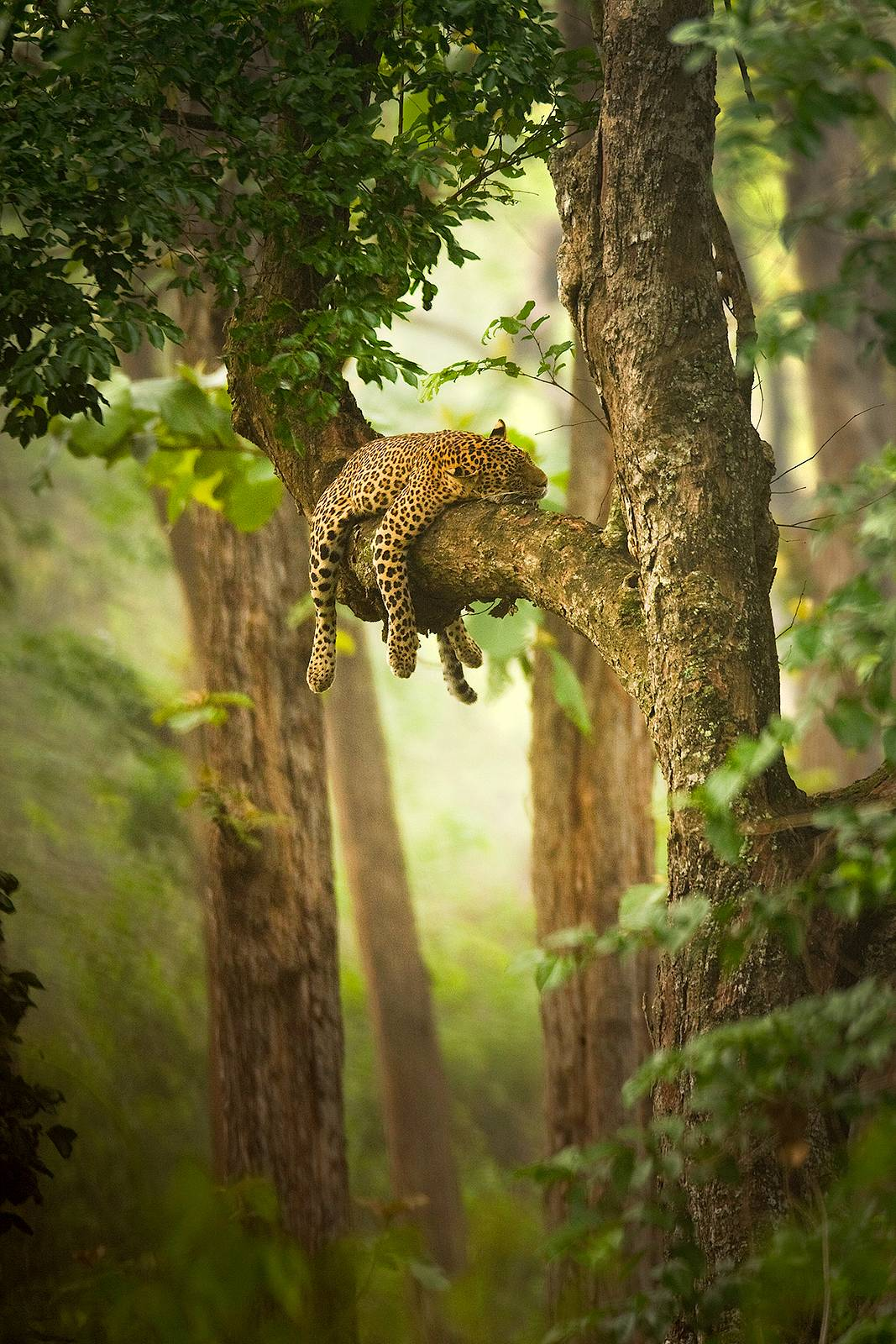 wildlife leopard on tree forest