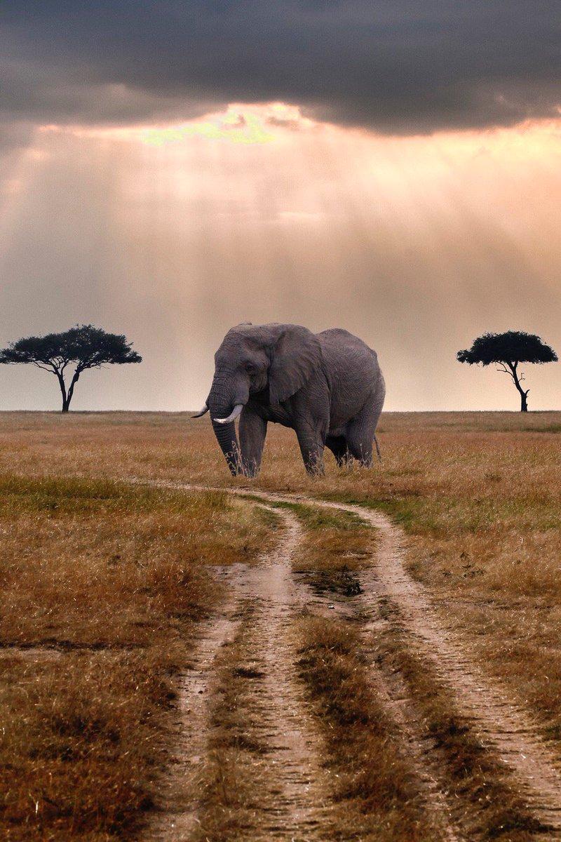 elephant african animal africa tusker safari wildlife