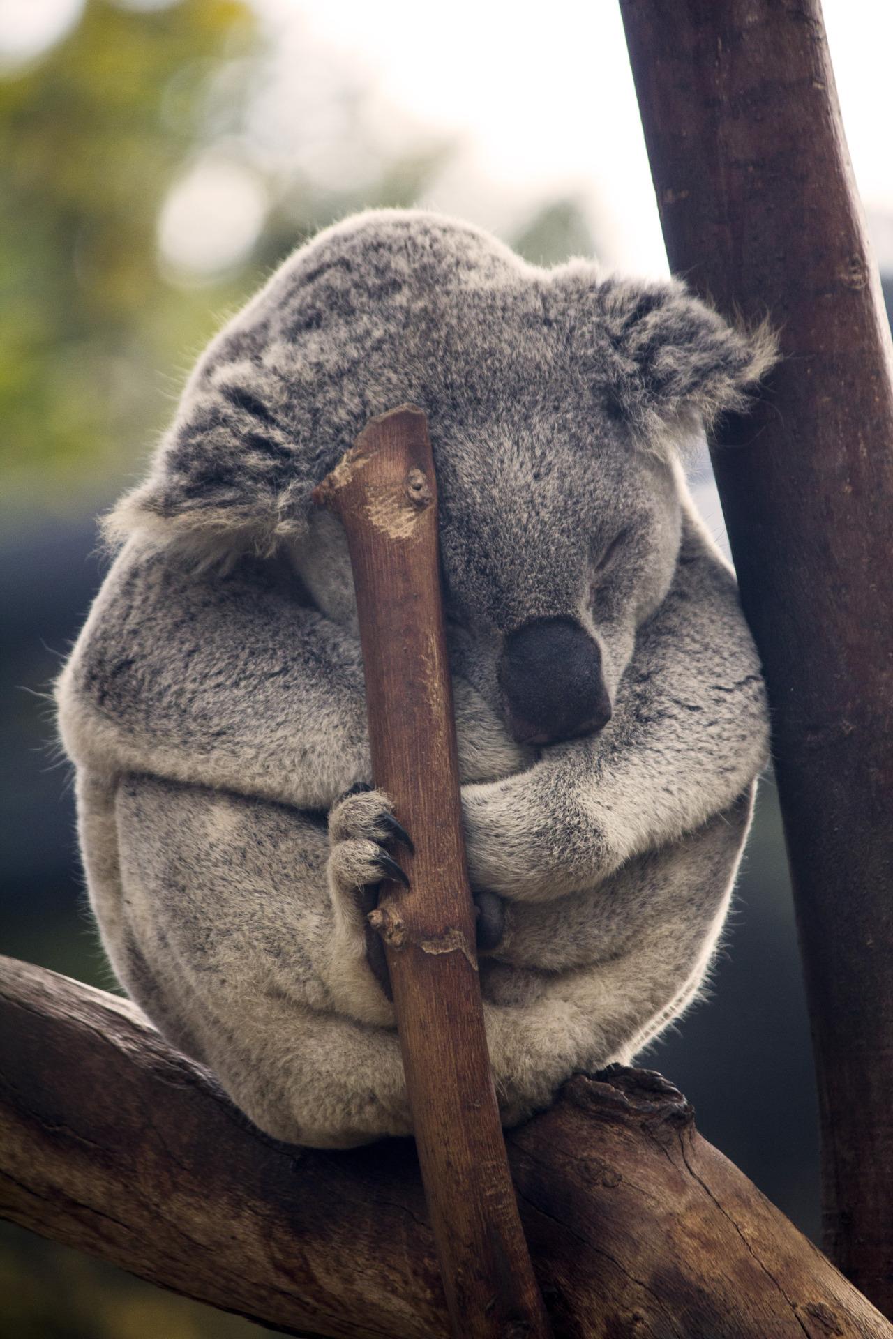 koala mammal animal sleep tree cute