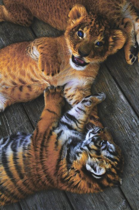 baby tigers and baby lions
