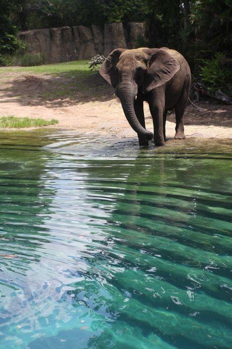 elephant lake mammal african animal africa safari wildlife indian