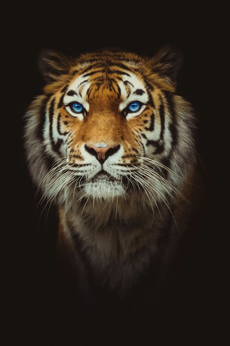 feline tiger predator cat animal leo big mammal fur