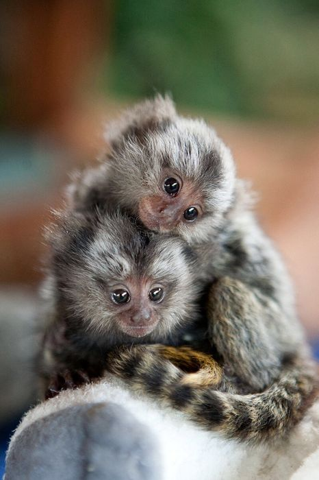 monkey baby marmoset animal cute