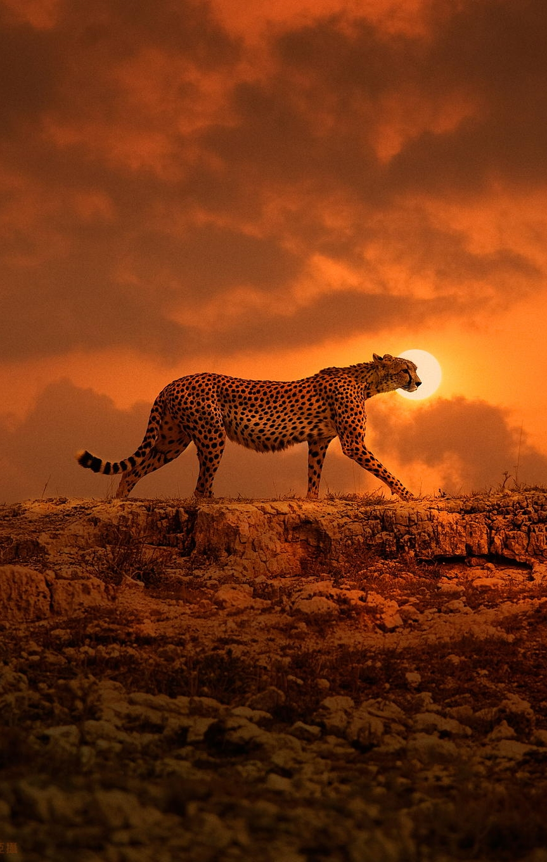 africa cheetah animal wildlife mammal wild sunset safari african neck