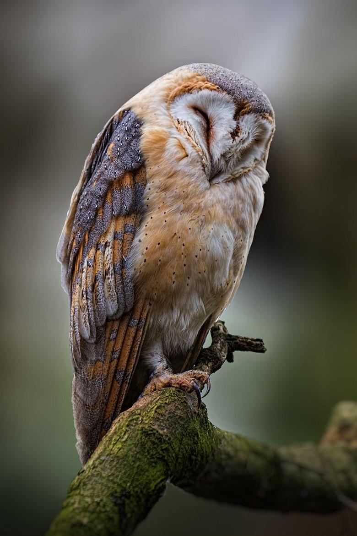bird owl animal sleeping tree