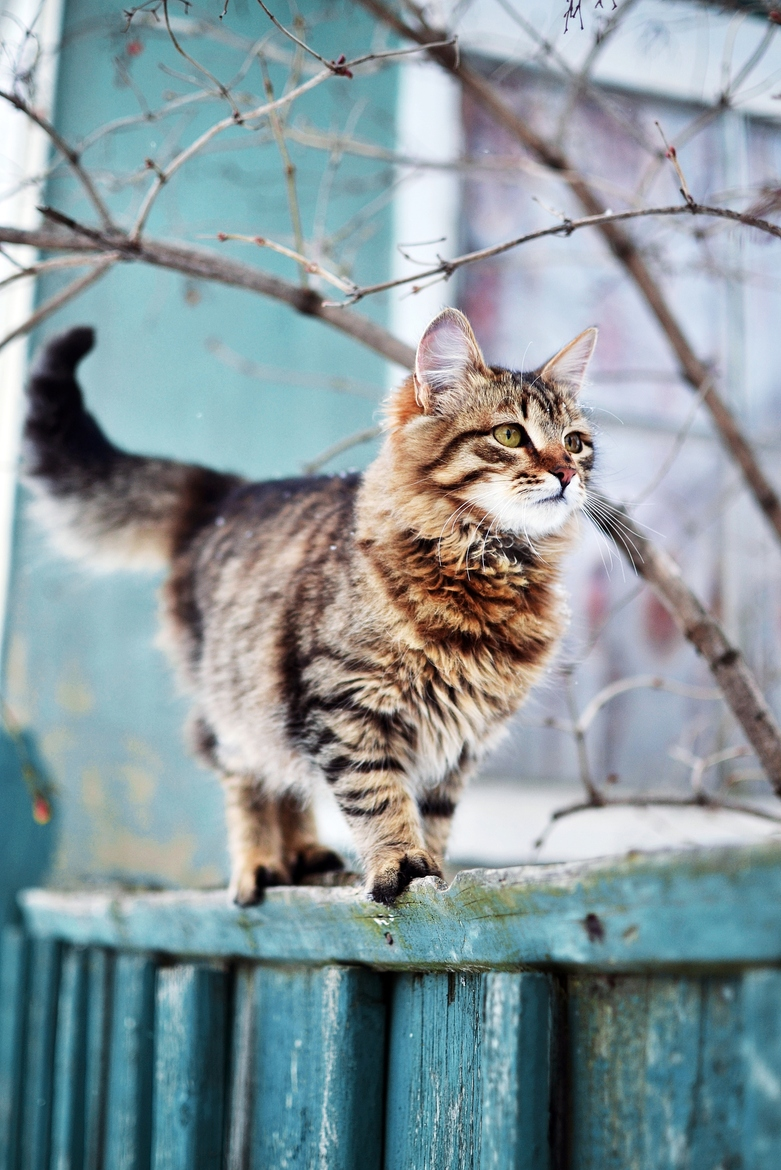 cat feline lynx wildcat animal domestic kitten fur pet winter