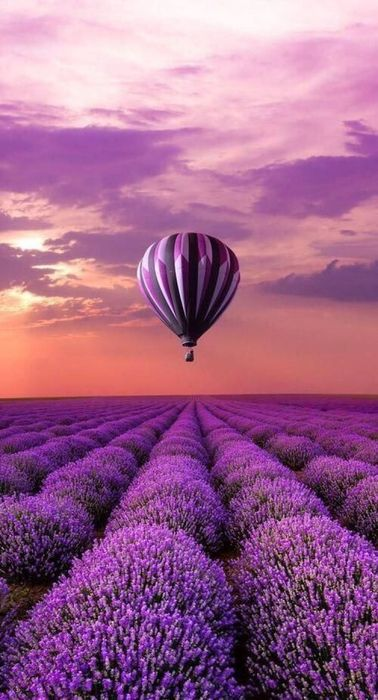 air ballon blooming lavender violet fields sky