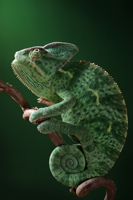 chameleon reptile lizard animal nature wildlife camouflage exotic predator