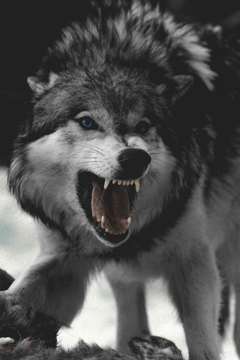 wolf canine mammal wildlife one fur animal zoo nature cute eye predator
