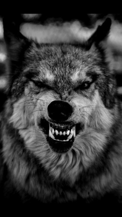 wolf wild mammal canine animal fur wildlife predator eye looking