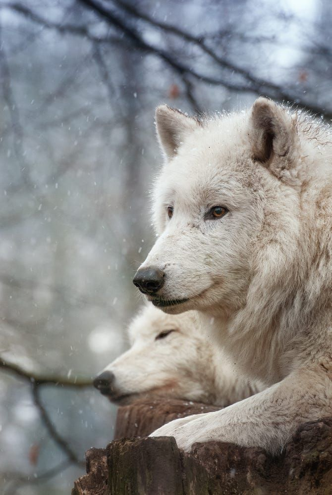 wolf white snow winter frosty mammal nature wildlife cold wild wood animal predator fur