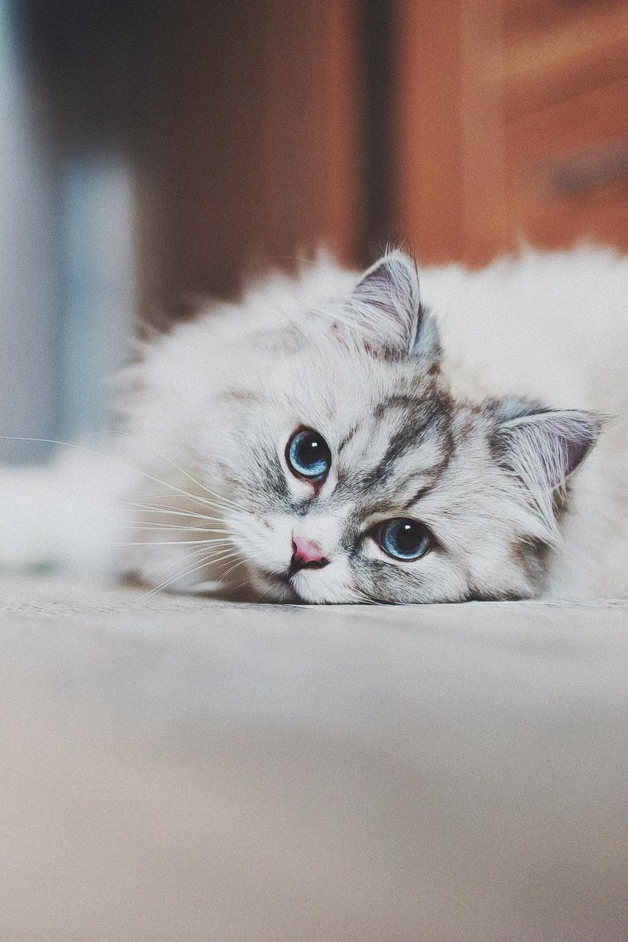 cat animal mammal pet kitten portrait domestic cute fur eye whisker funny