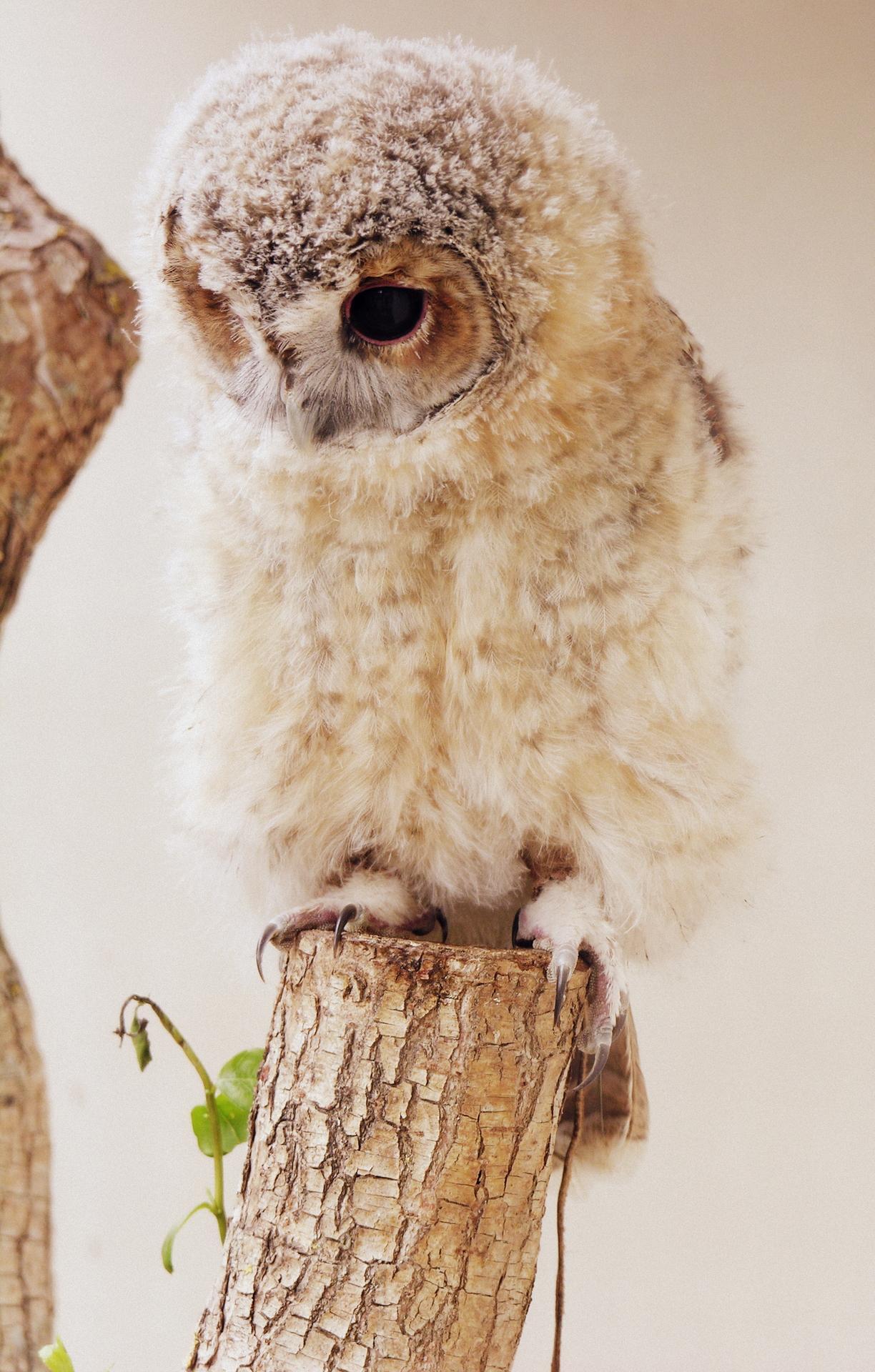 owl bird cute wildlife animal nature wood one little portrait eye