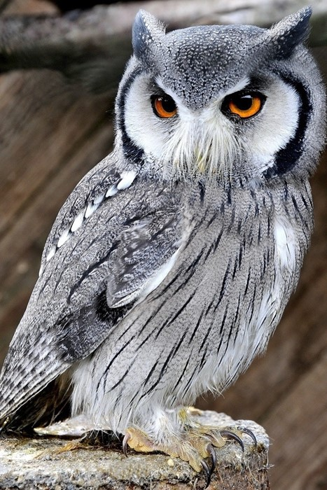 bird owl wildlife raptor beak nature animal feather wild prey grey avian eye