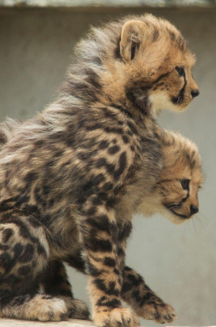 cheetah baby africa big cat predator fur animal mammal