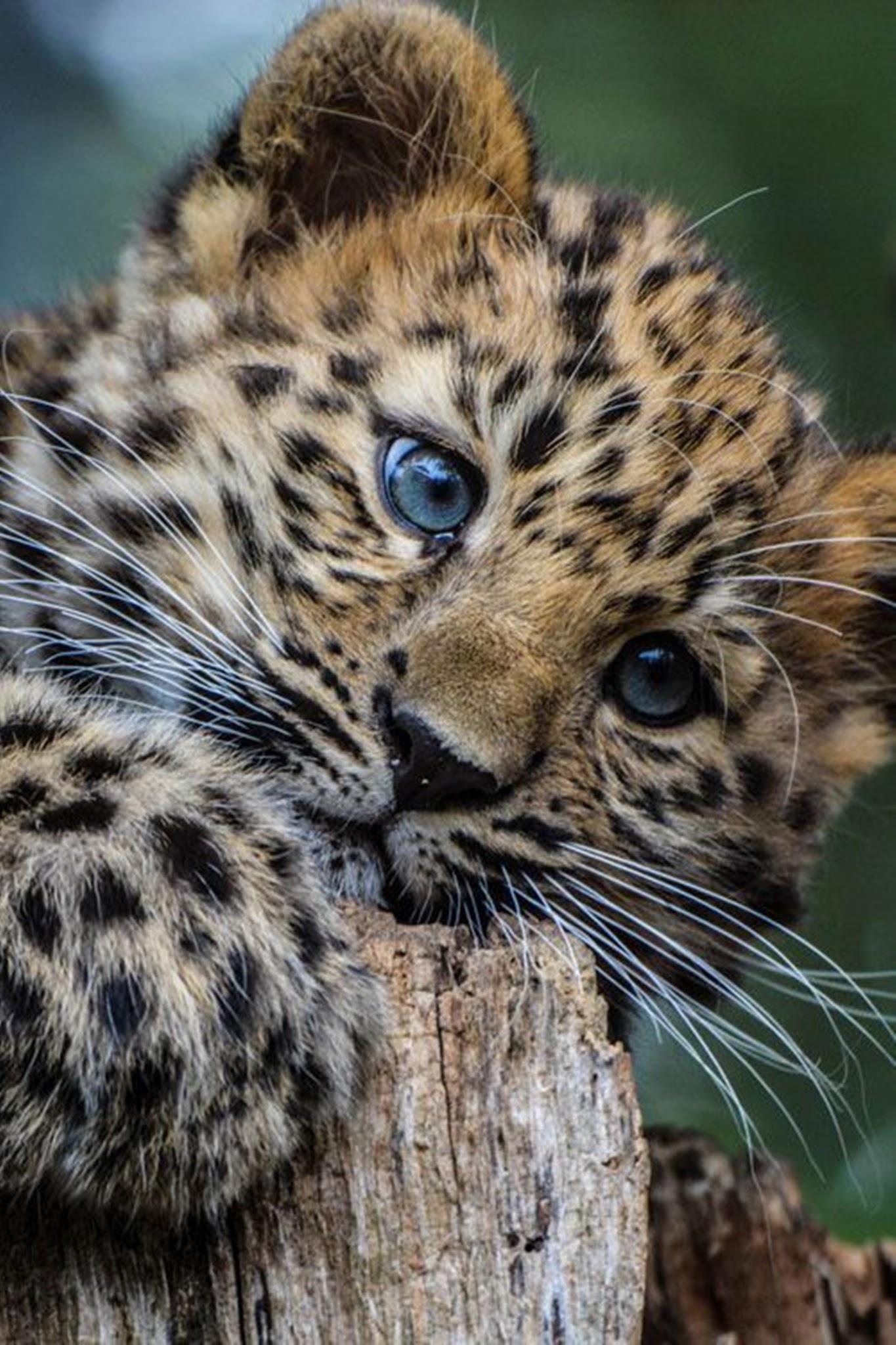 leopard cat mammal wildlife animal predator carnivore wild fur zoo safari hunter