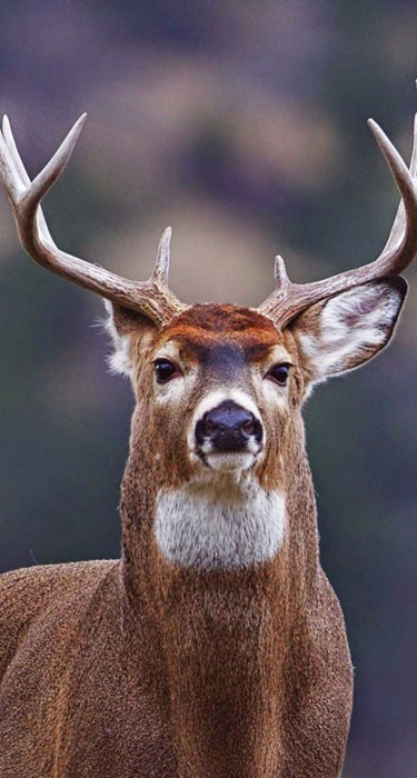 deer animal mammal wildlife bovid antelope impala wild