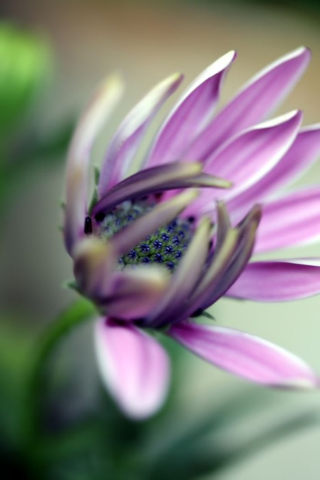 flower purple petal pink plant blossom flowers bloom floral flora