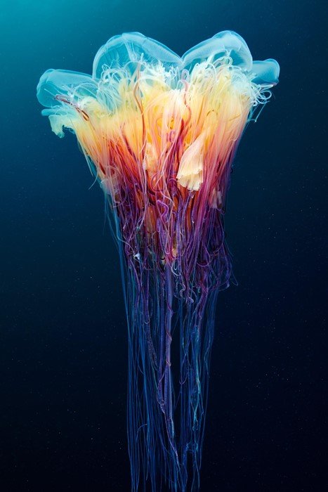jellyfish ocean biology underwater color science art dark motley dynamic wave