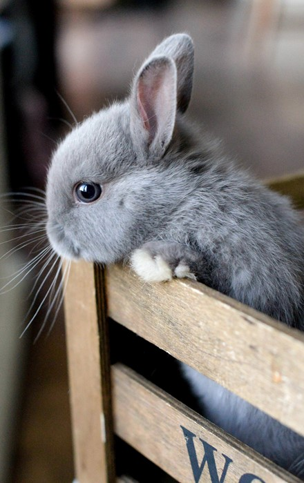 rabbit cute animal pet little downy grey portrait eye domestic fur