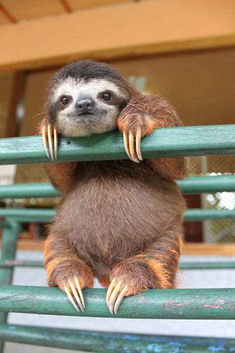 sloth baby mammal wildlife cute animal zoo little nature wild funny fur pet sit