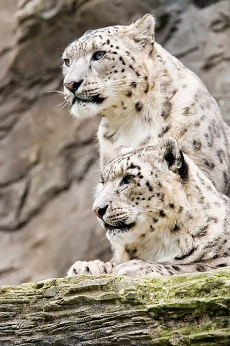 snowleopard snow wildlife mammal animal nature wild predator big zoo fur hunter