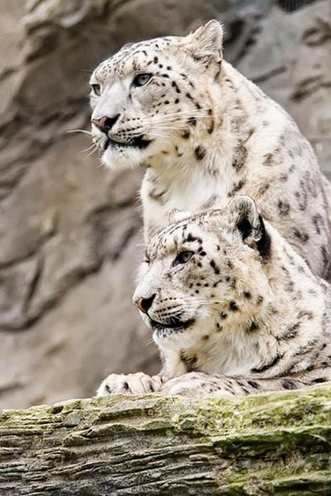snowleopard snow wildlife mammal animal nature wild predator big zoo fur hunter
