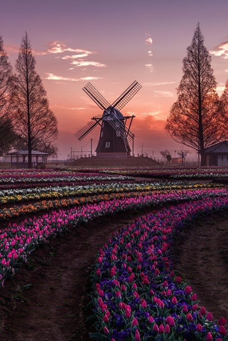 windmill holland landscape sunset farm flower outdoors agriculture evening dawn energy sky